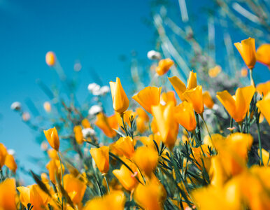 Kwiaty jadalne i niejadalne: sprawdź, które możesz zjeść bezpiecznie, a...