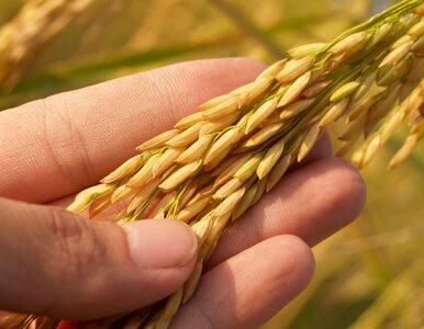 Jęczmień czy pszenica: co jest lepsze dla zdrowia?