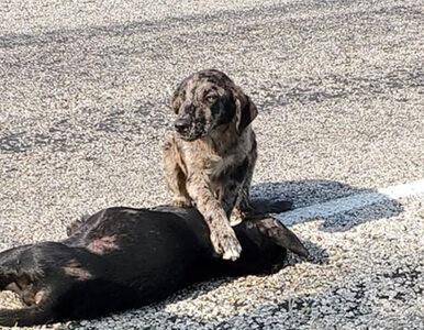 Pies czuwał przy zmarłej suczce. Jego historia wzruszyła internautów z...