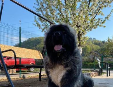 Owczarek kaukaski skradł serca internautów. Pies jest ogromny!