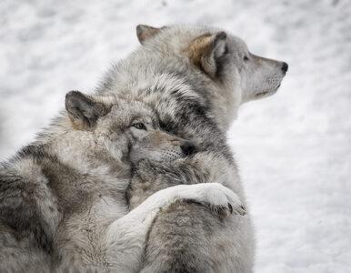 Ataki wilków na ludzi? Ekspert zwraca uwagę na dwie rzeczy