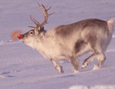 Renifery ze świątecznych kreskówek to bożonarodzeniowy mit