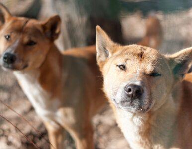 Śpiewający pies z Nowej Gwinei przetrwał w naturalnym środowisku! Po 50...