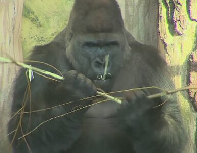 Opole: Rozzłoszczony goryl zbił szybę oddzielającą go od turystów