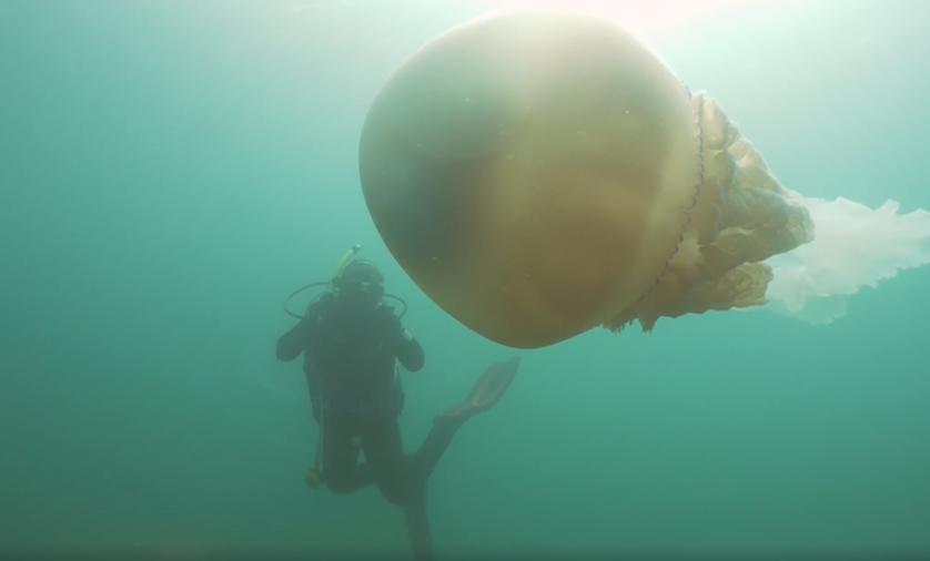 Wielka meduza