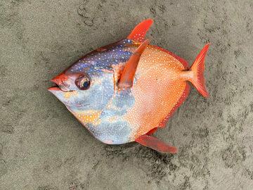 Olbrzymi strojnik znaleziony na plaży w stanie Oregon w USA