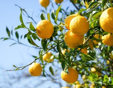 Yuzu – owoc, który wygląda jak mandarynka, a smakuje jak... kwiat
