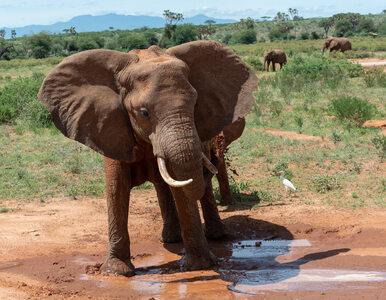 Nieznana choroba atakuje słonie, umierają setki zwierząt. Kanada, Afryka...