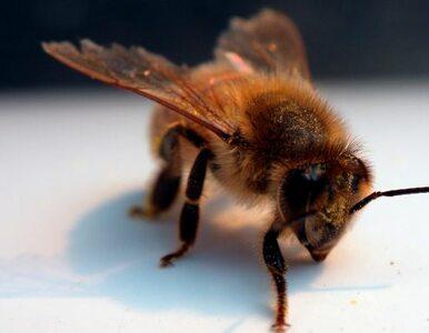 USA: pszczoły zabiły rolnika