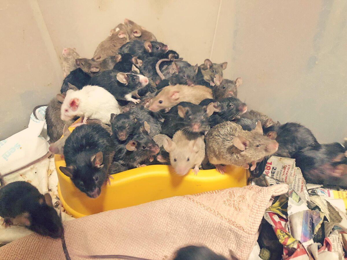 Myszy znalezione w mieszkaniu we Wrocławiu