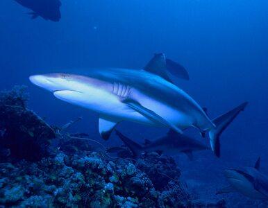 Prawie 3-metrowy rekin u południowych wybrzeży Wielkiej Brytanii. Władze...
