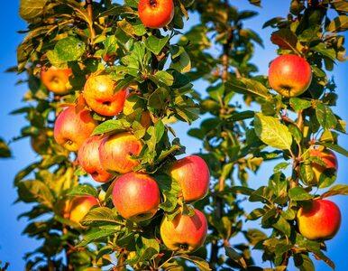 Dziś Światowy Dzień Jabłka! Dlaczego warto sięgać po te owoce każdego dnia?