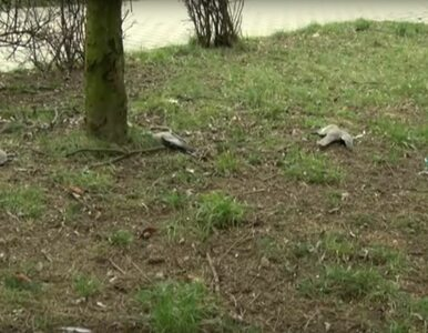"""Otruto ptaki na osiedlu w Jaworznie? """"Kos leżał do góry łapkami i..."""