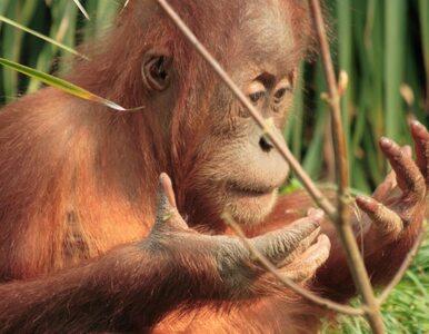 Orangutan miał operację zaćmy, żeby... móc zobaczyć dzieci