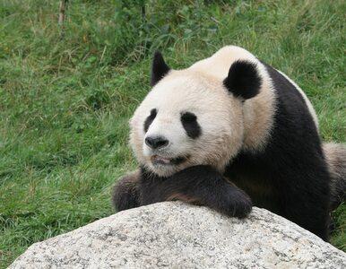 Wielka panda urodziła bliźnięta. Po raz pierwszy od 26 lat