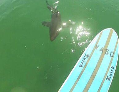 Surfer zobaczył rekina i... zaczął za nim płynąć