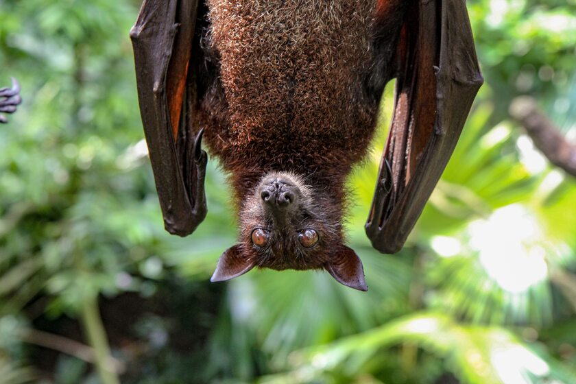 Nietoperz, zdjęcie ilustracyjne