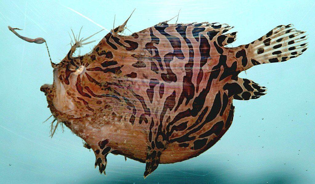 Inna przedstawicielka Żabnicokształtnych. (Antennarius striatus)