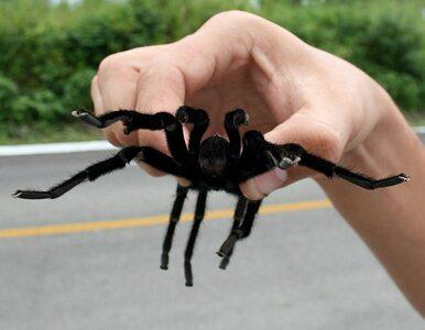 Chcesz dotknąć jadowitego pająka? Jedź do Gorzowa Wielkopolskiego
