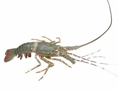 1 na 50 milionów - amerykański rybak złowił niezwykłego homara