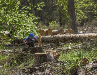 UNESCO wzywa Polskę do przerwania wycinki w Puszczy Białowieskiej i...