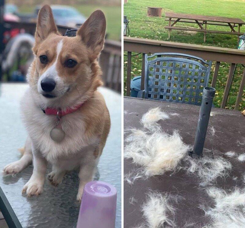 Pies, który zrzucił sierść