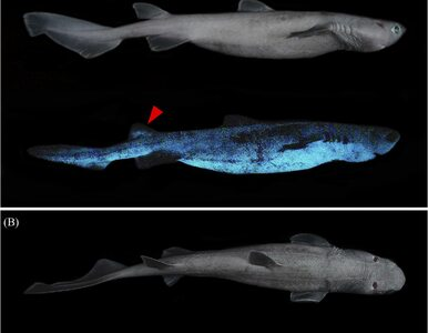 Sfotografowano świecącego rekina i jednocześnie największego świecącego...