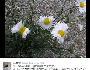 Sieć obiegły zdjęcia zdeformowanych stokrotek z Fukushimy