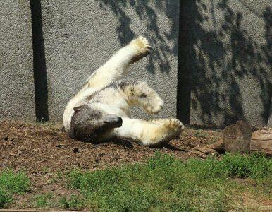 """Zdjęcie niedźwiedzia polarnego z warszawskiego zoo wywołało burzę. """"On..."""