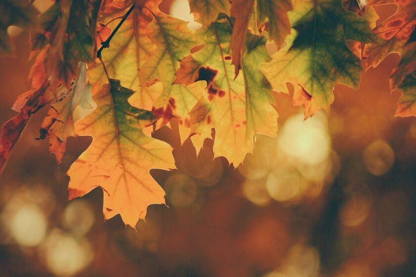 Liście dębu jesienią
