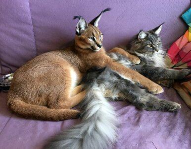 Drapieżnik czy słodkie zwierzę domowe? Rosyjskie małżeństwo mieszka z...