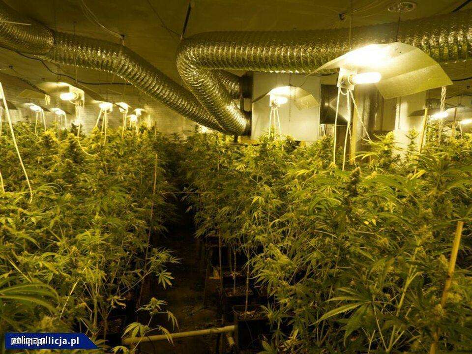 Dwupiętrowa plantacja marihuany zlikwidowana