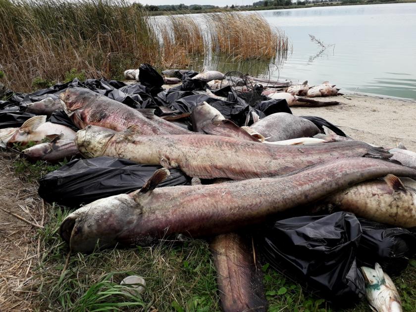 Martwe ryby nad brzegiem Jeziora Koskowickiego