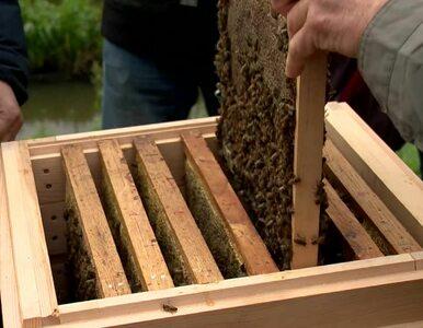 35 tysięcy pszczół w środku miasta. W Białymstoku powstała miejska pasieka