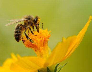 Co druga pszczoła mogła nie przeżyć zimy. Pszczelarze przedstawiają...