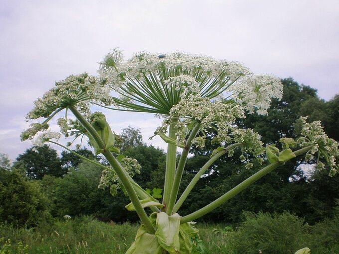 Barszcz Sosnowskiego, kwiatostan