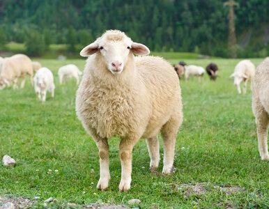 A może by tak rzucić wszystko... i wypasać owce? Ogromne zainteresowanie...