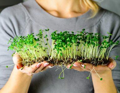 Sposoby uprawy kiełków: w słoiku, na sitku, w kiełkownicy