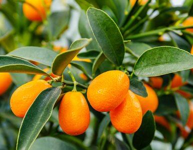 Kumkwat, owoc nazywany złotą pomarańczą. Jakie ma właściwości?