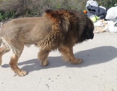 Przerażeni mieszkańcy myśleli, że to lew. Okazało się, że drapieżnika...