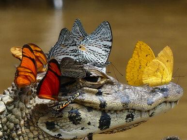 Motyle kochają krokodyle... łzy. To zdjęcie nie było edytowane