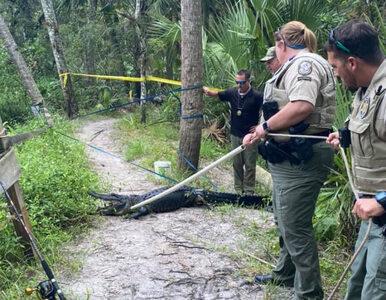 Aligator zaatakował i ciężko ranił rowerzystę. Biuro szeryfa pokazało...