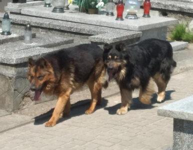Psy zaatakowały na cmentarzu w Żychlinie. Jedna osoba trafiła do szpitala