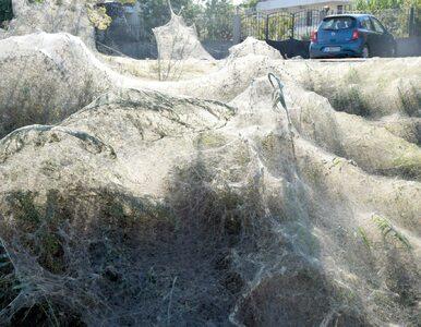 Pająki utkały 300-metrową sieć na plaży. Zdjęcia pokazują ich...