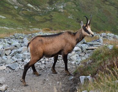 Rozpoczęło się liczenie kozic w Tatrach. Ostatnie się nie powiodło