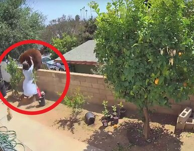 Nastolatka odepchnęła niedźwiedzicę, aby chronić psy. Jest nagranie