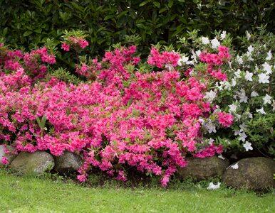 Azalia japońska: królewski krzew, który ozdobi każdy ogród