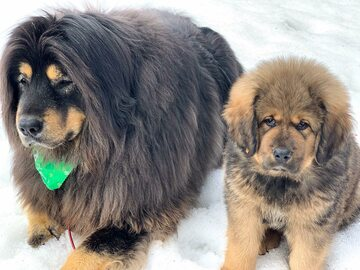 Dwa mastify tybetańskie stanowią nierozłączny duet. Oto Shiloh i Walter