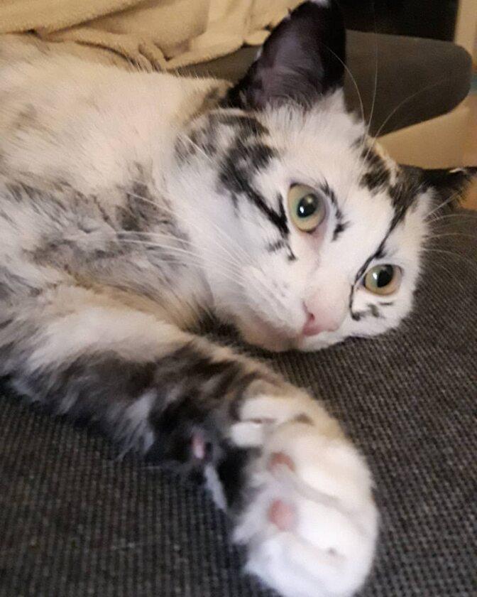 Kot z bielactwem nabytym