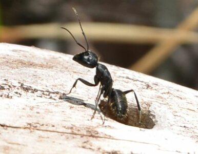 Angielskie mrówki będą nosić mini-nadajniki. Naukowcy chcą je śledzić